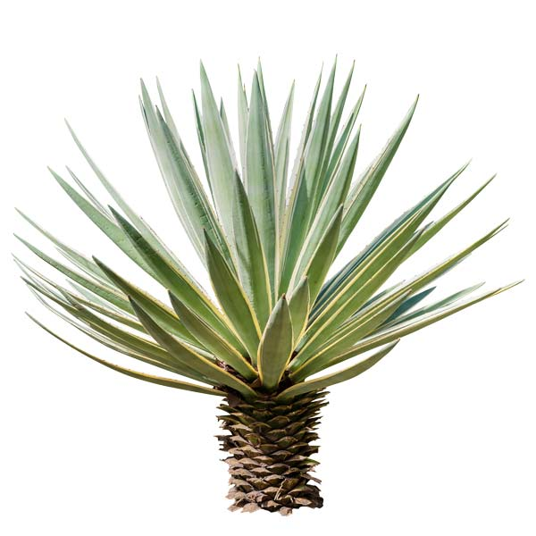 Agave-plant